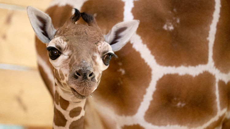 Como Zoo baby giraffe