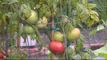 Grow with KARE: Green tomatoes everywhere!