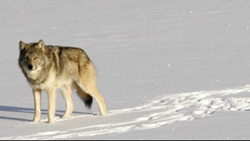 Federal plans to lift wolf protections would trigger hunt