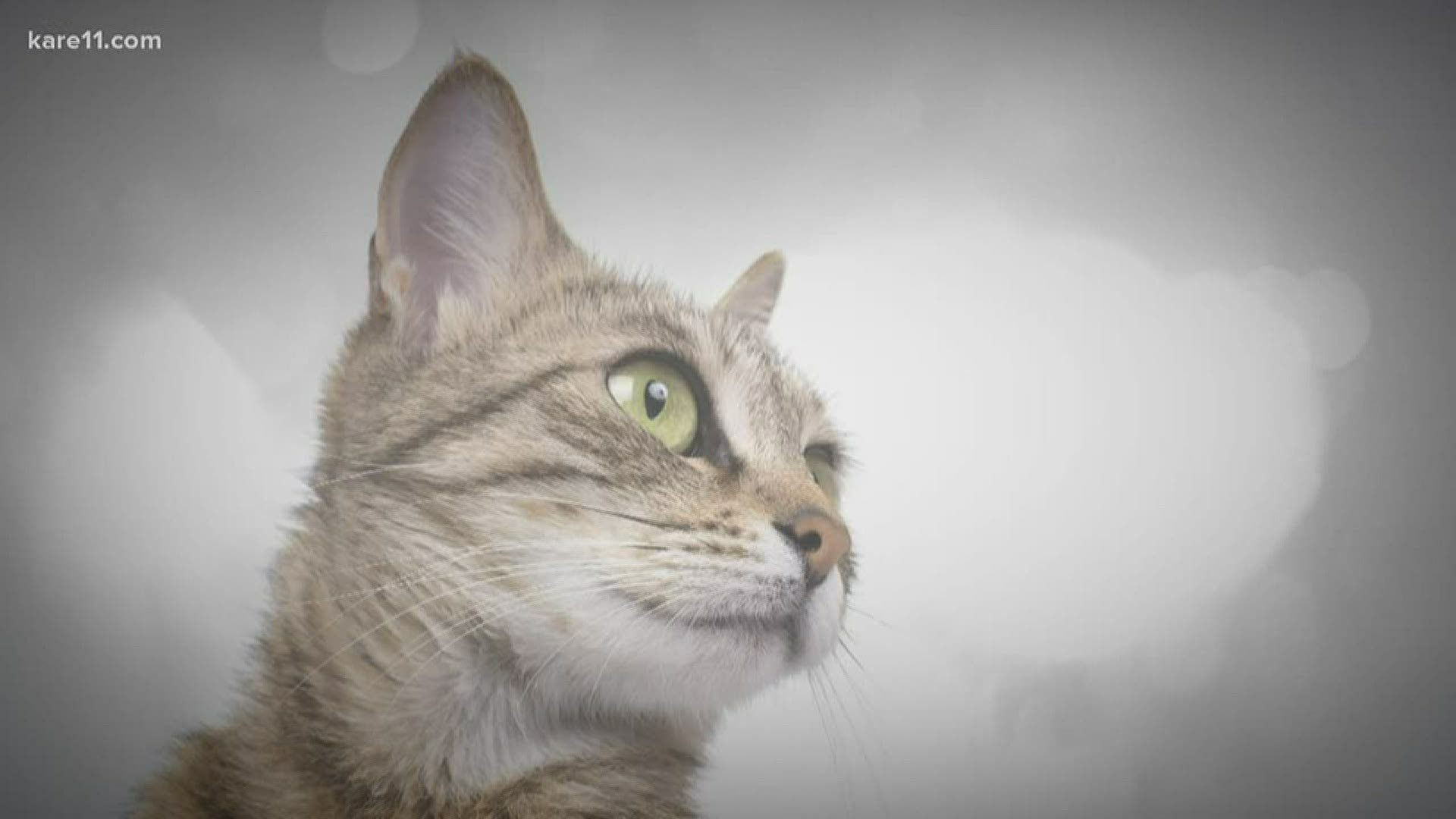 2 Cats Test Positive For Covid 19 How To Protect Your Pets Kare11 Com