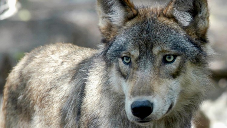 Wisconsin wolf hunt ends early after hunters, trappers exceed kill target