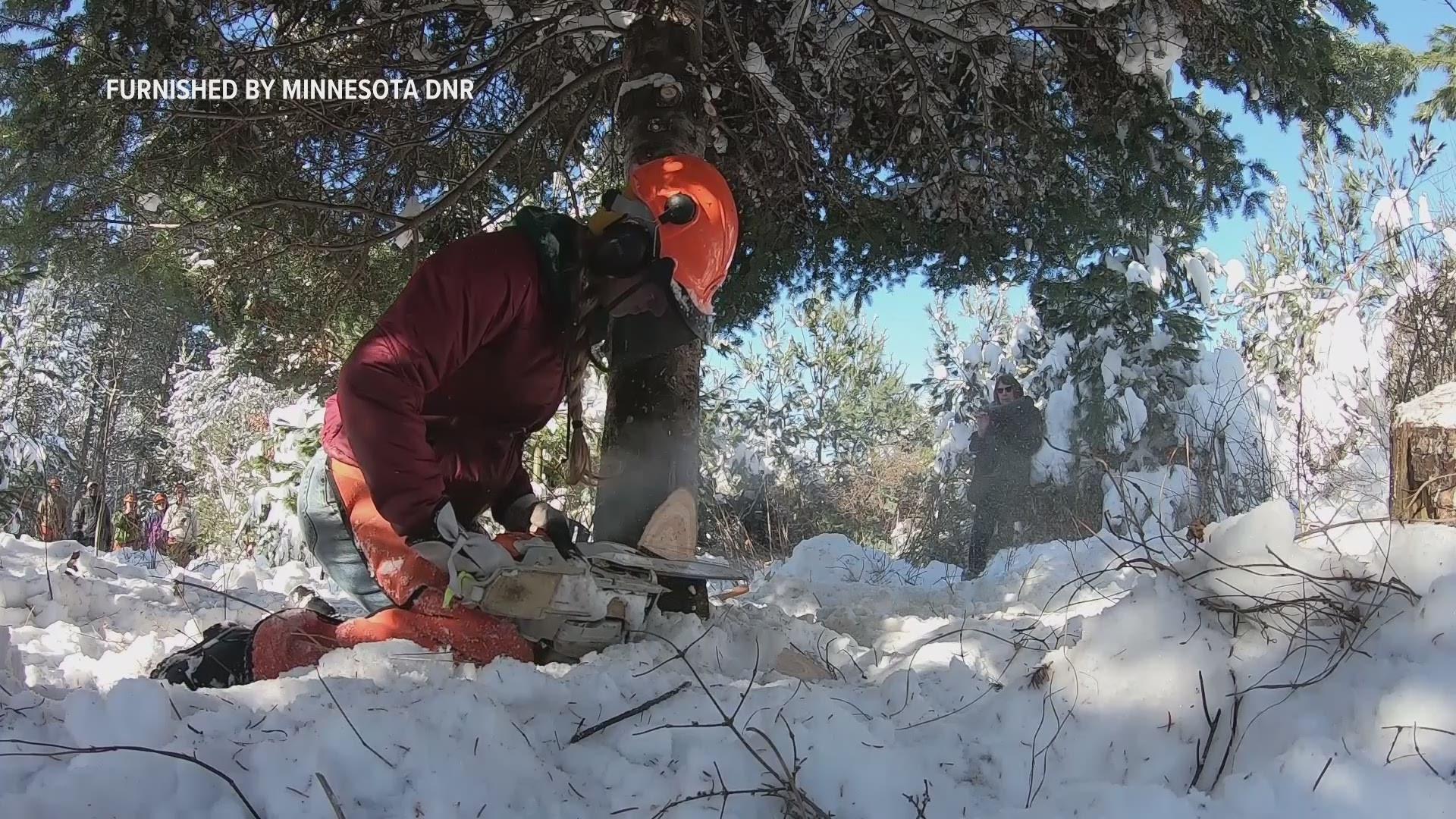 2020 Mn Christmas Tree Harvesting Governor's 2019 Christmas tree harvested in Pine Co. | kare11.com