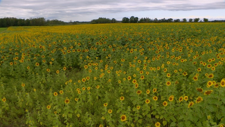 Smude's sunflowers