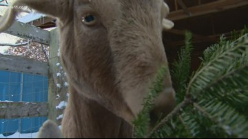 Goats are prolific Christmas tree recyclers