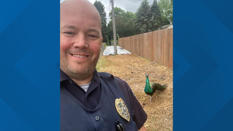 Peacock on the loose! Bird spotted by police in Champlin, Minnesota