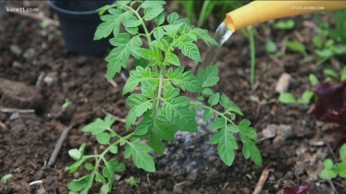 Grow with KARE: Blight-resistant tomato varieties