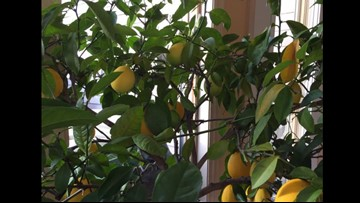 Grow with KARE: Citrus trees