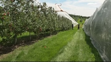 Pine tree apple orchard hail netting process