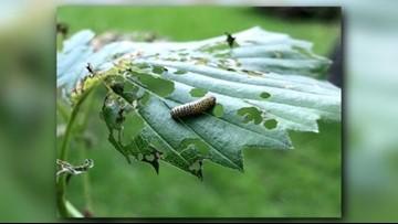 Invasive beetle confirmed in MN