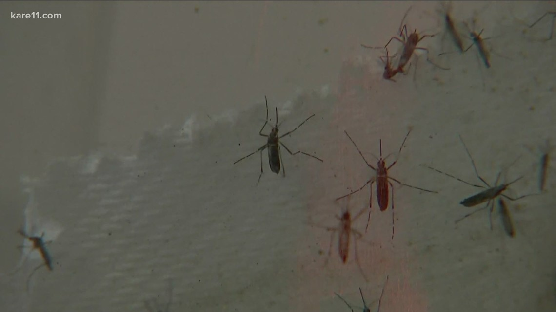 Minnesota has 51 species of mosquitoes, experts say the dry weather will lead to fewer of them