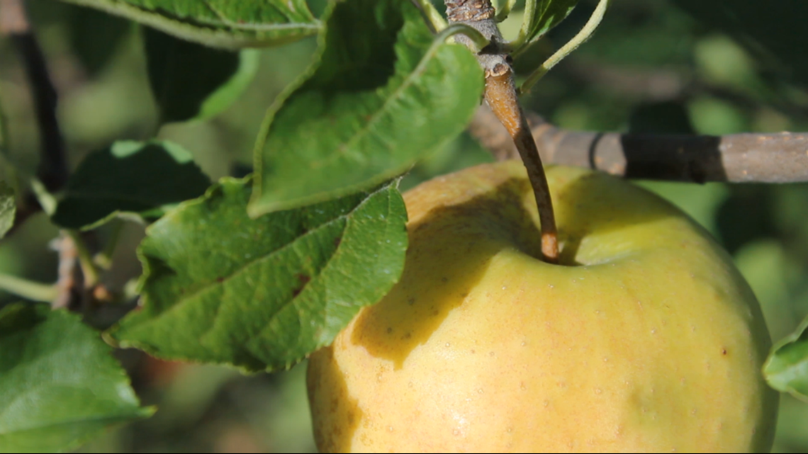 WI Family's coveted 'Champagne' apple finally harvested