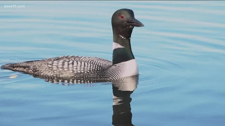 Minnesotans help protect state's treasure: the loon