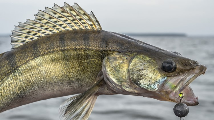 Red Lake summer walleye limit drops to 3