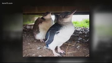 Sven Explains: Saving the penguins