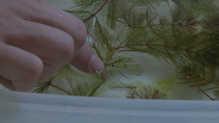 Lexie Dietz points to a weevil on the stem of a Eurasian watermilfoil plant. (Photo: KARE 11)