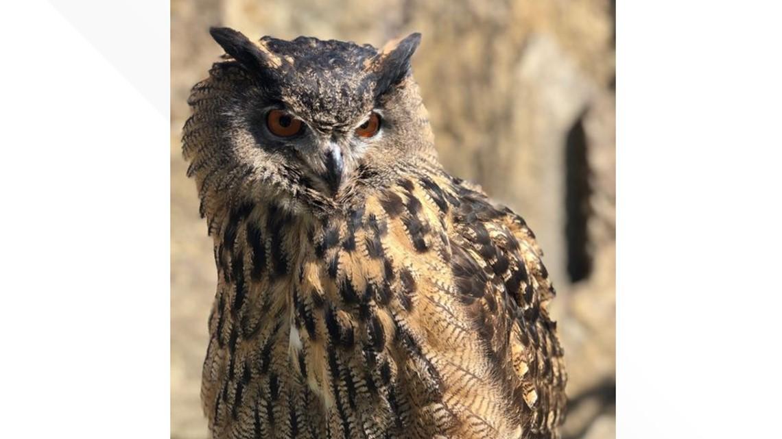 Have you seen this bird? Eurasian eagle owl escapes Minnesota Zoo