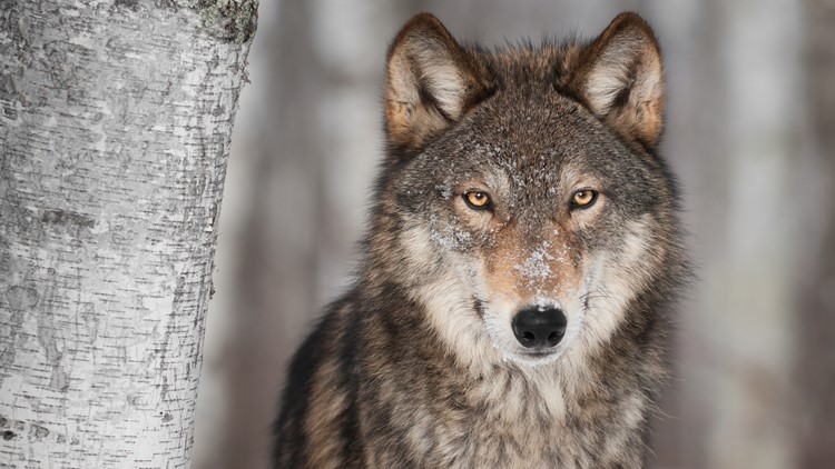 Wisconsin opens early wolf hunt after hunter group sues