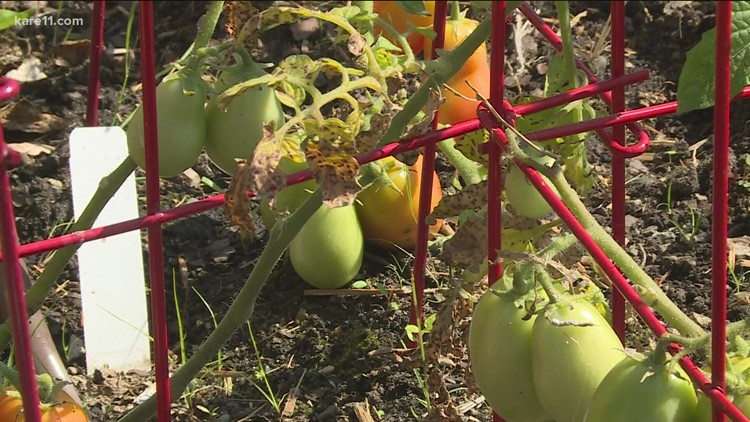 Grow with KARE: Blossom end rot in tomatoes