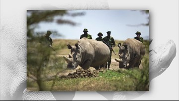 Sven Explains: Trying to save the Northern White Rhino