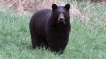 Black bear sighting in Arden Hills