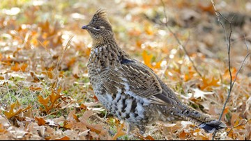 Rare mosquito-borne virus found in MN ruffed grouse