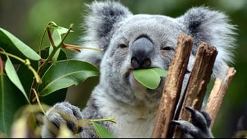 WeatherMinds: Outback fire kills hundreds of koalas