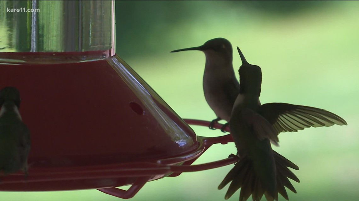 WeatherMinds: Hummingbirds in MN