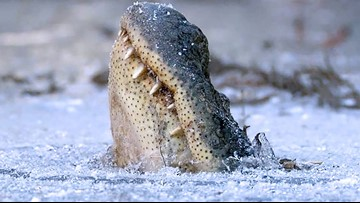 Alligators freeze in North Carolina swamp with noses above ice