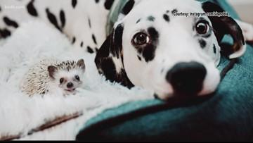 Hedgehog, dalmatian defy the odds, become best buds