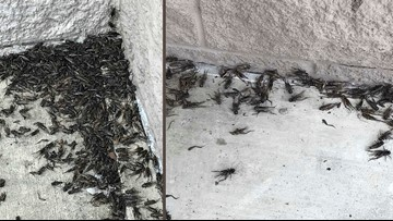 Crickets swarm Texas Capitol, forcing businesses to close  temporarily