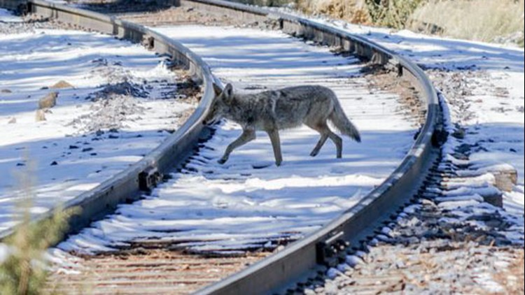 Environmental groups are pushing the federal government to ban the use of cyanide bombs known as M-44s, used to control coyote populations, because that the devices kill other wildlife.