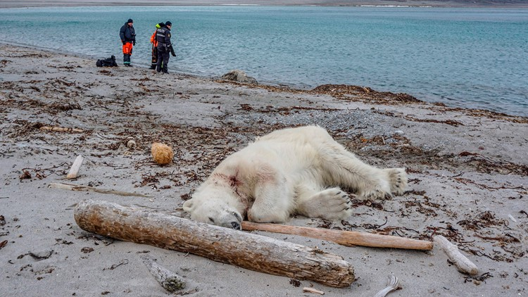 Polar bear killed after attacking cruise ship employee