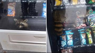Raccoon breaks into vending machine but can't break back out